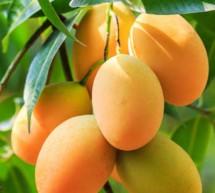 ফরমালিন মুক্ত মিষ্টি আম চেনার উপায়